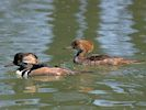 Hooded Merganser (Slimbridge 17/05/14)