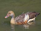 Plumed Whistling Duck (Slimbridge 17/05/14)