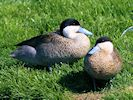 Puna Teal (Slimbridge 17/05/14)