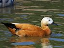 Ruddy Shelduck (Slimbridge May 2014)