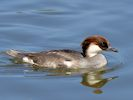 Smew (Slimbridge 17/05/14)