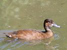 Southern Pochard (Slimbridge 17/05/14)