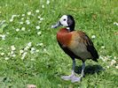 White Faced Whistling Duck (Slimbridge 17/05/14)
