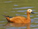 Ruddy Shelduck (Slimbridge July 2014)