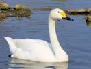 Bewick's Swan (Slimbridge April 2015)