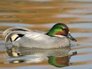 Falcated Duck (Slimbridge April 2015)
