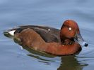 Ferruginous Duck (Slimbridge April 2015)