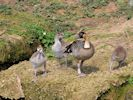 Hawaiian Goose (Slimbridge April 2015)