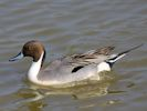 Northern Pintail (Slimbridge April 2015)