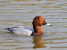 Pochard (WWT Slimbridge April 2015) - pic by Nigel Key