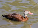 Black-Bellied Whistling Duck (Slimbridge May 2015)