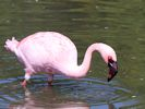 Lesser Flamingo (Slimbridge May 2015)