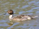 Northern Pintail (WWT Slimbridge May 2015) - pic by Nigel Key