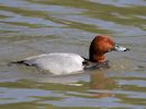Pochard (WWT Slimbridge May 2015) - pic by Nigel Key