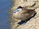 Puna Teal (Slimbridge May 2015)