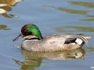 Falcated Duck (Slimbridge June 2015)