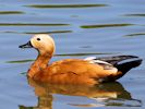 Ruddy Shelduck (Slimbridge June 2015)