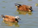 South African Shelduck (Slimbridge June 2015)