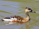 Wandering Whistling Duck (Slimbridge June 2015)