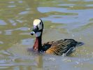 White-Faced Whistling Duck (WWT Slimbridge June 2015) - pic by Nigel Key