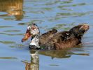 White-Winged Duck (Slimbridge June 2015)