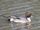 Northern Pintail (WWT Slimbridge May 2016) - pic by Nigel Key
