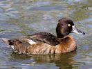 Tufted Duck (WWT Slimbridge September 2016) - pic by Nigel Key