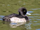 Tufted Duck (WWT Slimbridge October 2016) - pic by Nigel Key