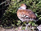 West Indian Whistling Duck (Slimbridge 05/10/16)