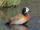 White-Faced Whistling Duck (WWT Slimbridge October 2016) - pic by Nigel Key