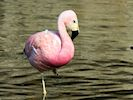 Andean Flamingo (Slimbridge 16/08/16)