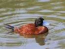 Argentinian Ruddy Duck (Slimbridge 16/08/16)