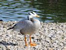 Bar-Headed Goose (Slimbridge 16/08/16)