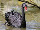 Black Swan (Slimbridge 16/08/16)
