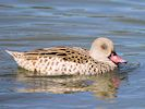 Cape Teal (Slimbridge 16/08/16)