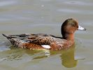 Eurasian Wigeon (Slimbridge 16/08/16)