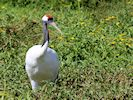 Red-Crowned Crane (Slimbridge 16/08/16)
