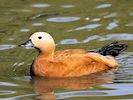 Ruddy Shelduck (Slimbridge 16/08/16)