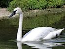 Trumpeter Swan (Slimbridge 16/08/16)