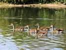 West Indian Whistling Duck (Slimbridge 16/08/16)