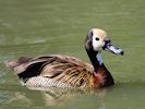White-Faced Whistling Duck (Slimbridge 16/08/16)