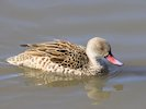 Cape Teal (WWT Slimbridge October 2017) - pic by Nigel Key