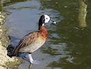White-Faced Whistling Duck (WWT Slimbridge March 2017) - pic by Nigel Key