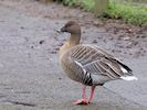 Pink-Footed Goose (Slimbridge November 2017)