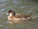 Baikal Teal (WWT Slimbridge 23/05/18) ©Nigel Key