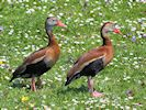 Black-Bellied Whistling Duck (WWT Slimbridge 23/05/18) ©Nigel Key