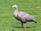 Cape Barren Goose (WWT Slimbridge 23/05/18) ©Nigel Key