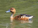 Fulvous Whistling Duck (WWT Slimbridge 23/05/18) ©Nigel Key