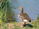 Greylag Goose (WWT Slimbridge 23/05/18) ©Nigel Key