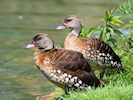 Spotted Whistling Duck (WWT Slimbridge 23/05/18) ©Nigel Key